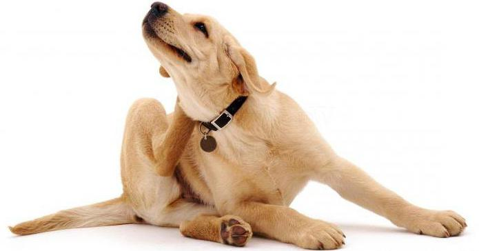 отит аллергического типа у собак
