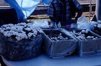 требования к выращиванию шампиньона белого в подвалах