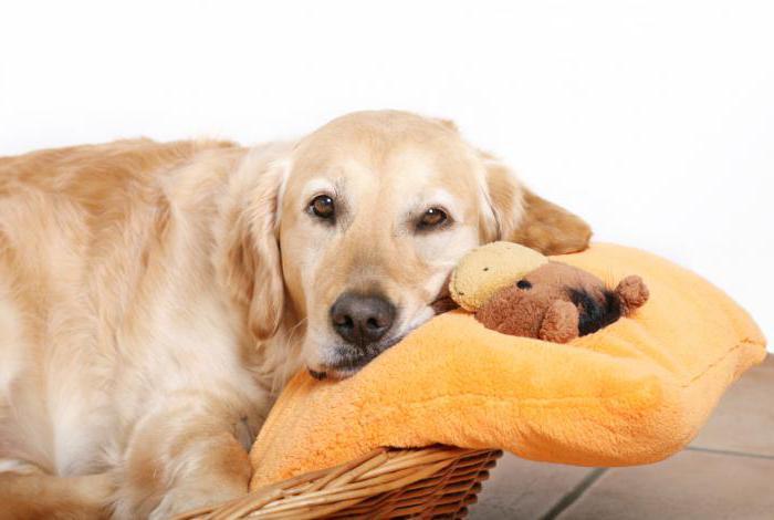ложная щенность у собак что делать