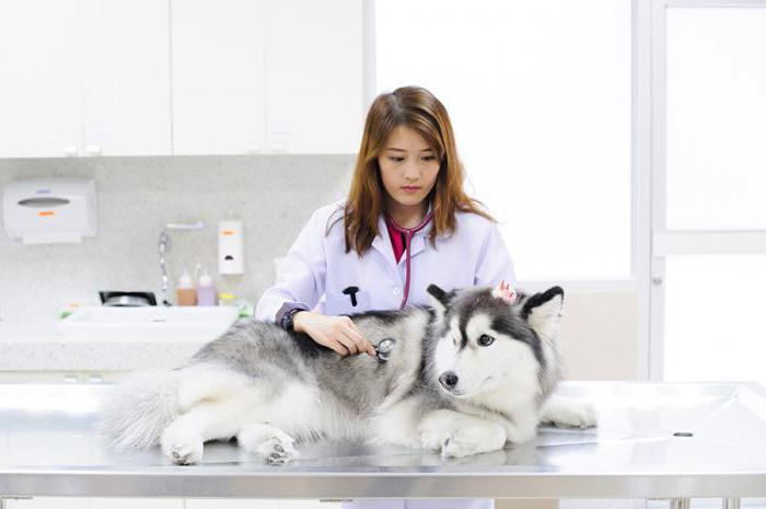 ложная щенность у собак лечение