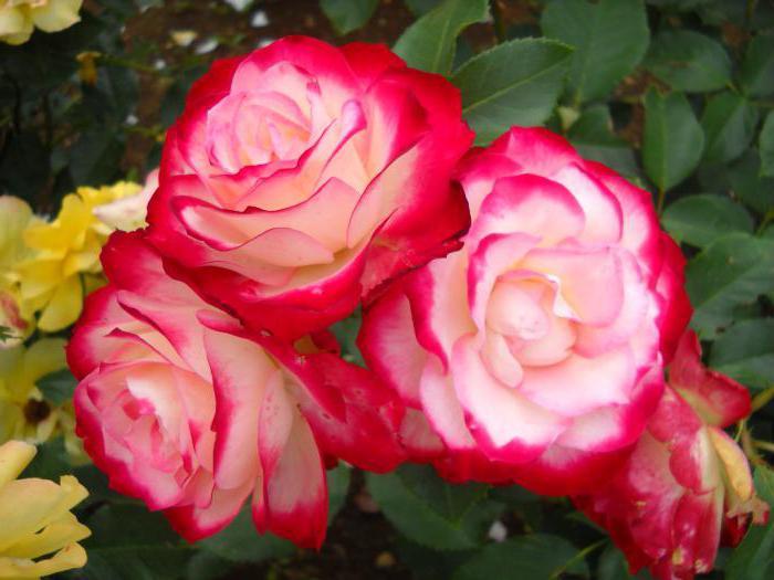 самые красивые цветы в мире фото розы