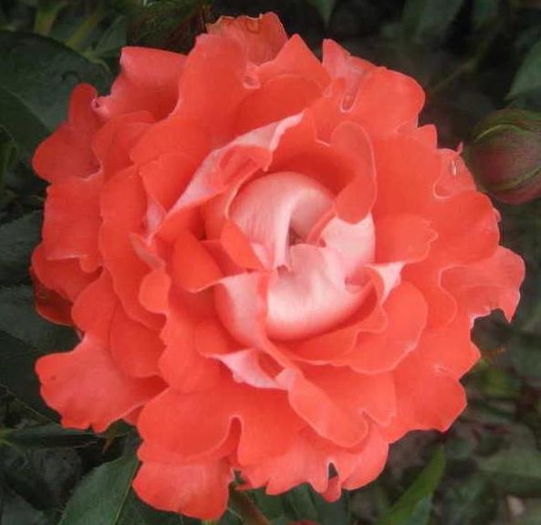 самые красивые розы в мире фото с названиями