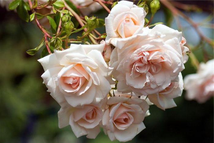 какие самые красивые розы в мире