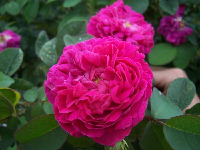 самые красивые розы в мире фото