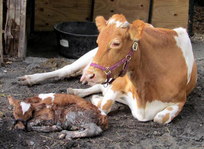 Что делать: корова отелилась, а молока нет? Как кормить теленка? Мастит у коровы