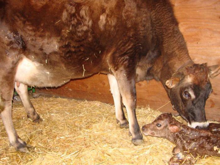 материал замечательно у коровы после отела нет молока что делать вам предстоят