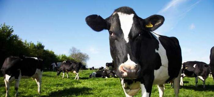 отелилась корова что делать