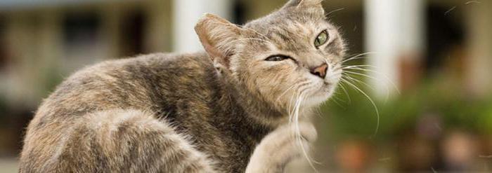 аллергия у кошек симптомы и лечение фото