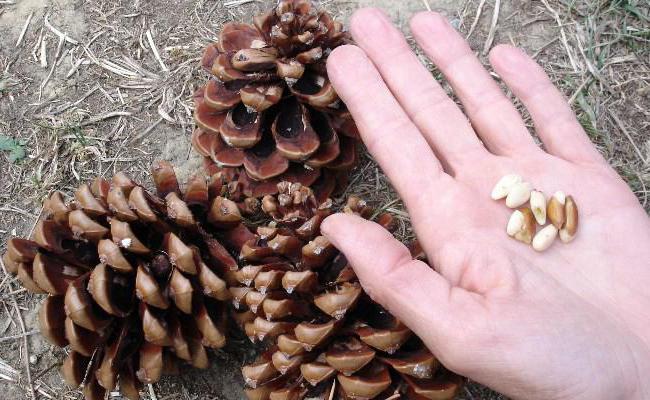 Ядро кедрового ореха: особенности, полезные свойства и вред