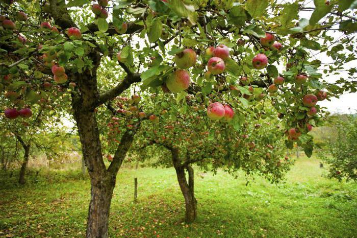 можно ли сажать яблоню рядом с вишней