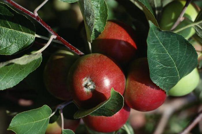 посадка яблони весной саженцами