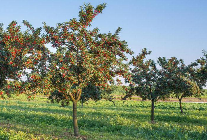 может ли яблоня расти рядом с вишней