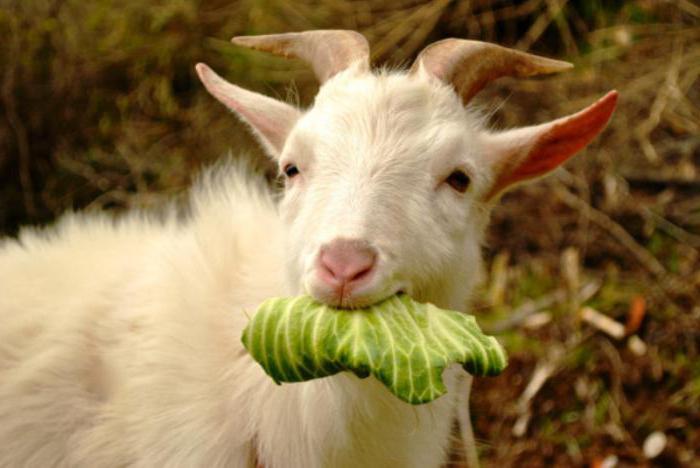 пустить козла в огород картинки чтобы
