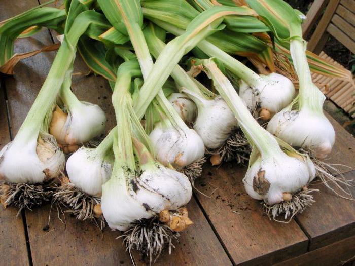 выращивание чеснока как бизнес