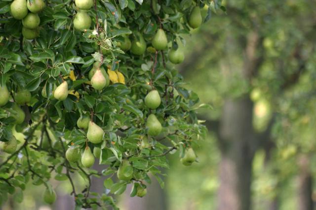 Груша Виктория особенности и тонкости выращивания саженцев