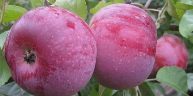 Алеся яблоня