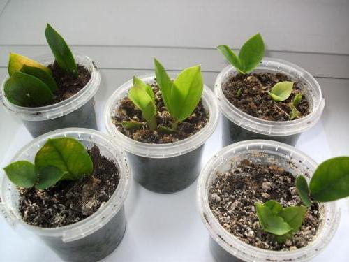 Удобрение для замиокулькаса в домашних условиях