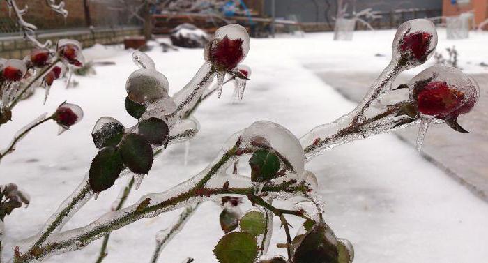 Розы уход подготовка к зиме