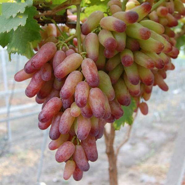 Характеристика винограда маникюр фингер