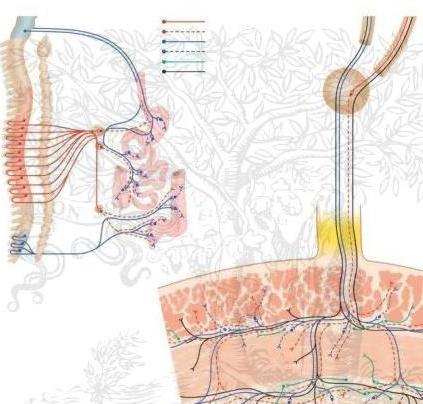 Метасимпатическая нервная система