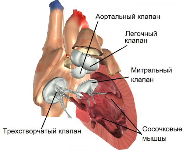 Клапан легочной артерии: норма и патологии