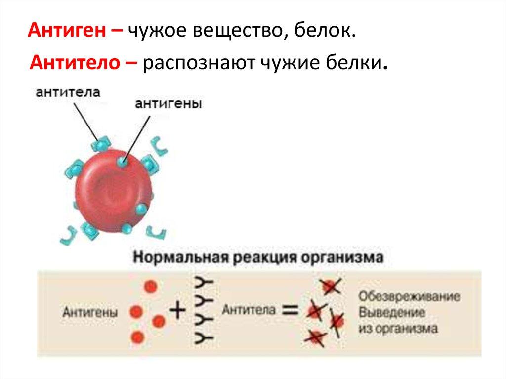 антиген и антитело