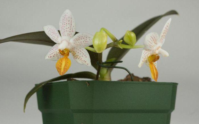 Сорта мини орхидей