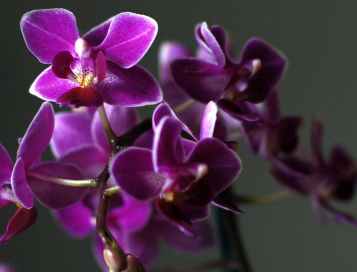 Пересадка мини орхидеи