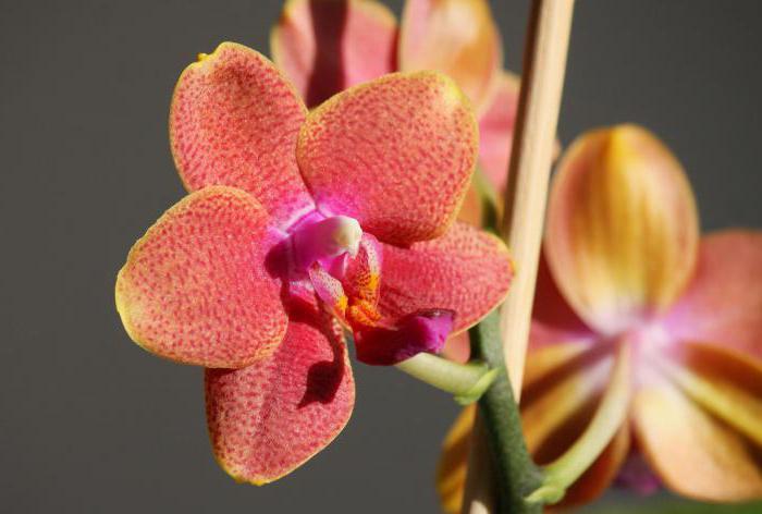 Как поливать мини орхидею