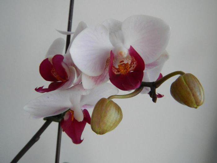 Цветок мини орхидея