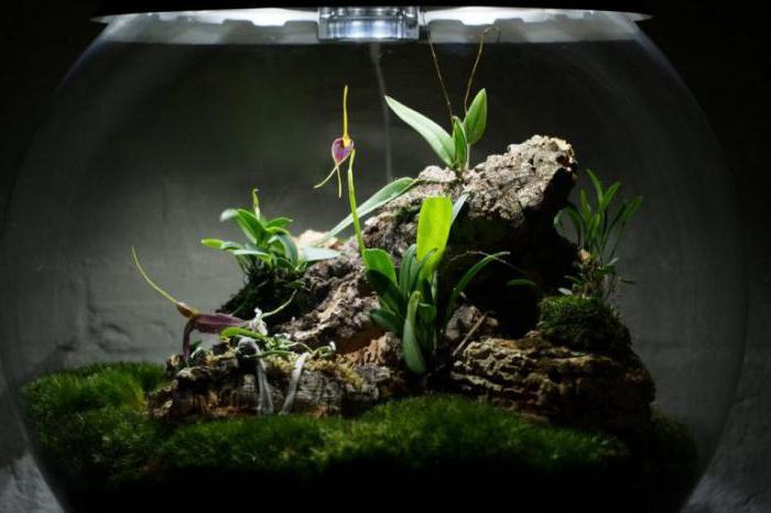 Мини орхидеи, уход в домашних условиях