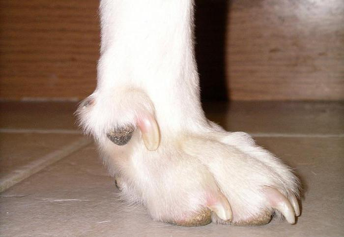 сколько пальцев у собаки на передних лапах