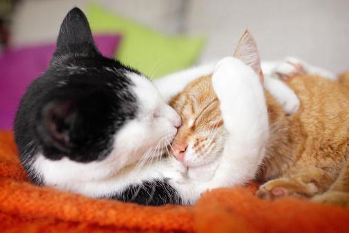 контрацептивы кошек таблетках