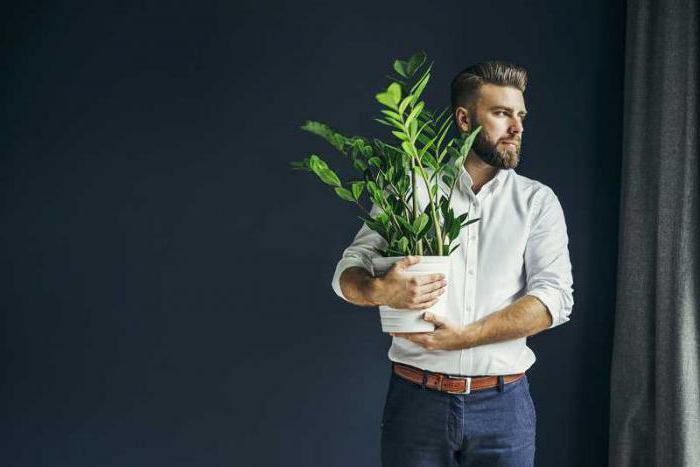 Цветок замиокулькас уход в домашних условиях