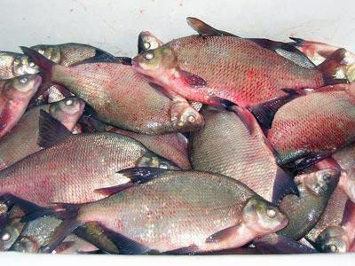 Описторхоз - в какой рыбе? Описторхоз: симптомы у человека, лечение и профилактика