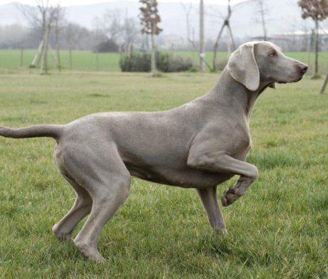 Гончие породы собак: ТОП-10 с фотографиями и названиями
