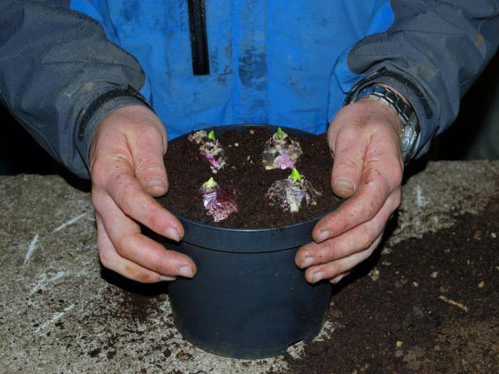 Цветы гиацинты: посадка и уход, фото, выращивание, хранение
