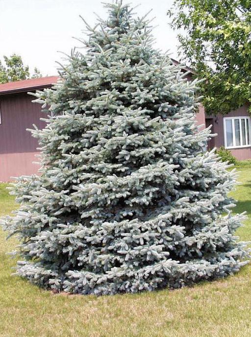 живая елка или сосна возле дома плохая примета