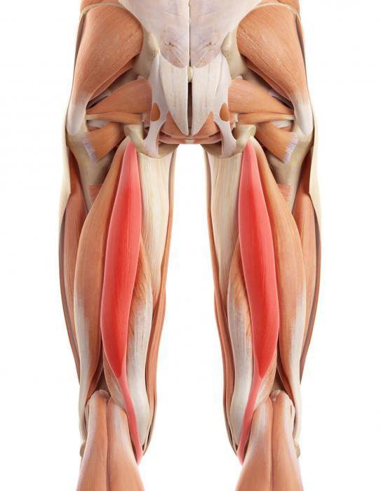 мышцы и связки задней поверхности бедра