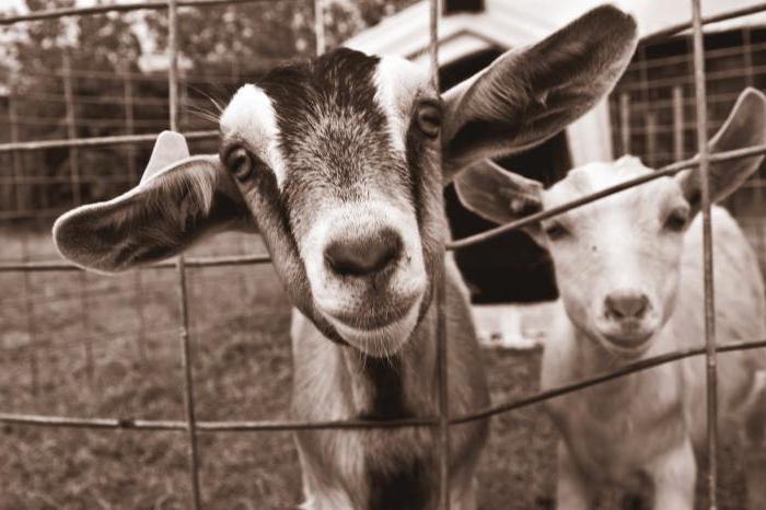 можно ли козе сырую картошку