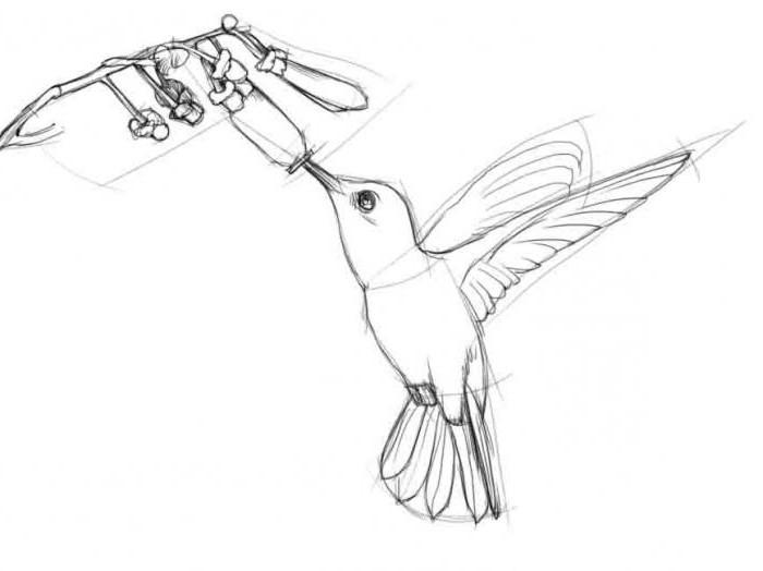 как нарисовать колибри карандашом поэтапно