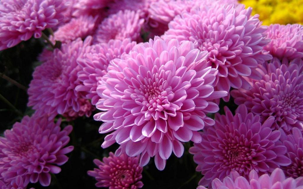 Картинки хризантемы цветов
