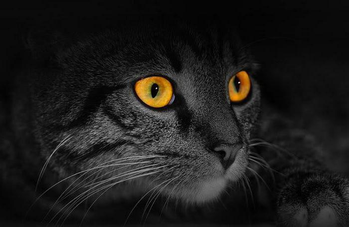 глаза кошки светятся в темноте картинки чрезвычайно востребованным