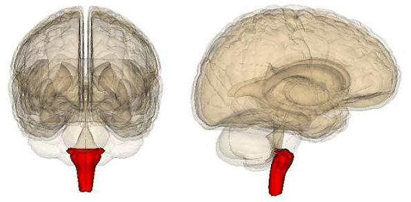 продолговатый мозг анатомия