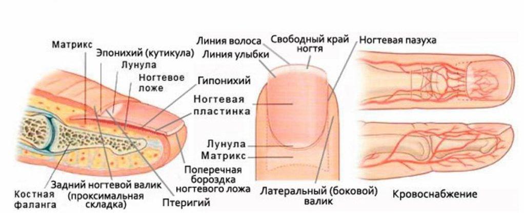 Картинка строение ногтей