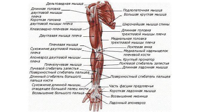 Анатомия мышечного аппарата рук