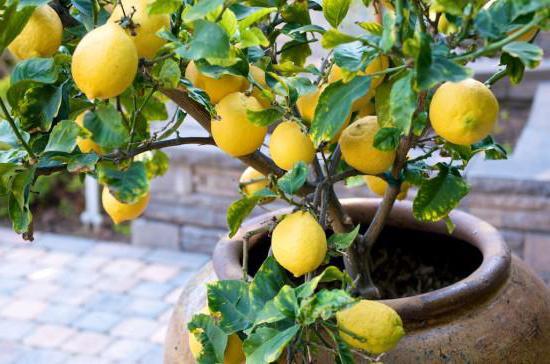 Комнатные растения какие бывают - лимон