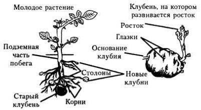 строение клубня и луковицы