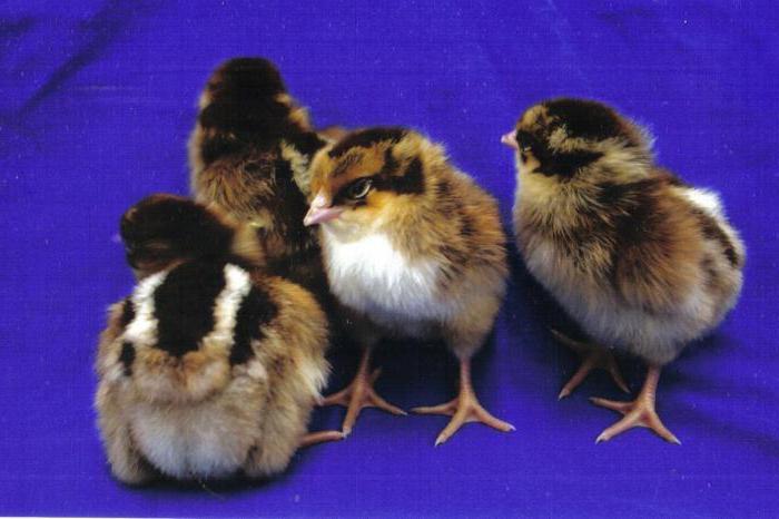 Барневельдер, порода кур: описание, фото и отзывы: http://fb.ru/article/316901/barnevelder-poroda-kur-opisanie-foto-i-otzyivyi
