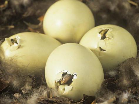 Как хранить утиное яйцо для инкубации